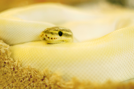 Close up of albino white rat snake is curled up with blurred background. Stockfoto