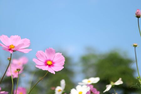 Beautiful cosmos flower blooming in the garden with blurred background.