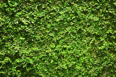 ivy green leaves covered the wall. background of natural tree fence for design art work.