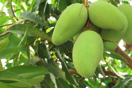 Close up of fresh green mangoes on tree in the garden.