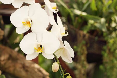 Close up of white phalaenopsis orchid flowers is blooming in the garden.