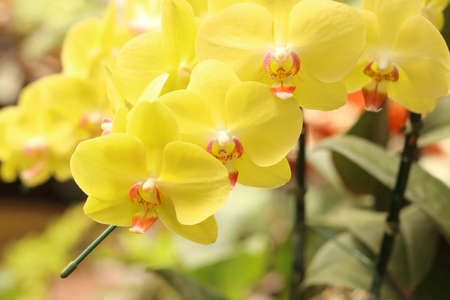 Close up of yellow phalaenopsis orchid flowers is blooming in the garden.