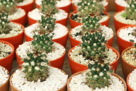 Background of various small cactus or succulent green plant in colorful pots by front view. Фото со стока