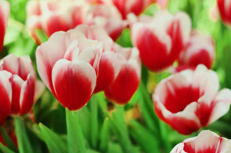 Red and white tulips flower with green leaf in tulip field. Imagens