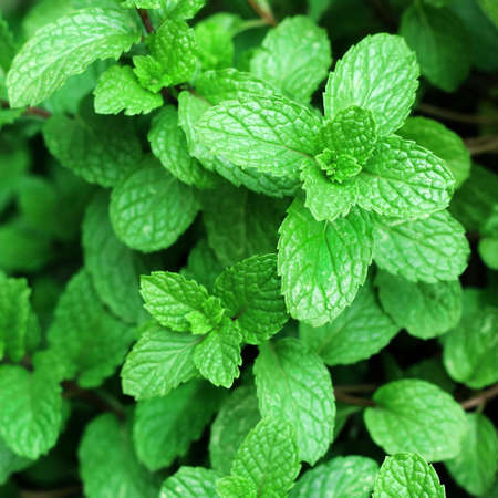 Close up of green mint plant growing in the vegetable garden.