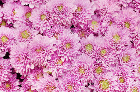 Beautiful dandelion background, pattern of pink flowers is blooming in the garden.