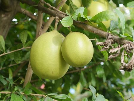 calabash India fruit Stock Photo
