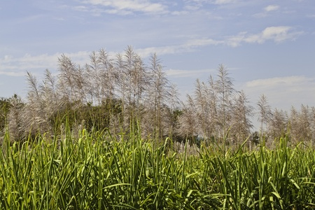 Sugarcane on the blue sky photo