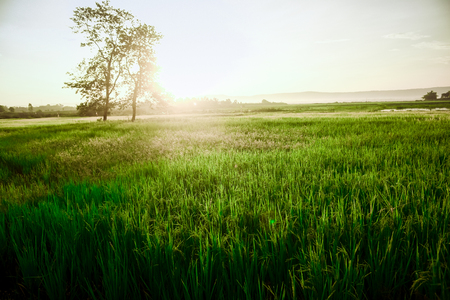 Rice fields,Beautiful rice fields