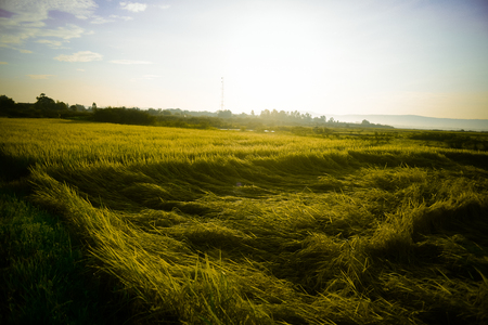 Fallen rice,Rice fields,organic asian rice farm