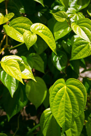 branch of betel leaf Stock Photo - 17306378