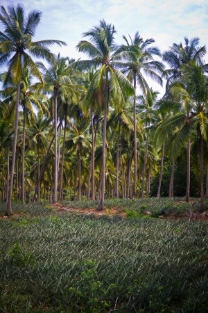 pineapple fruit field with coconut palm tree background. photo