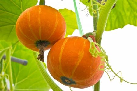Fresh orange pumpkin in the greenhouse.
