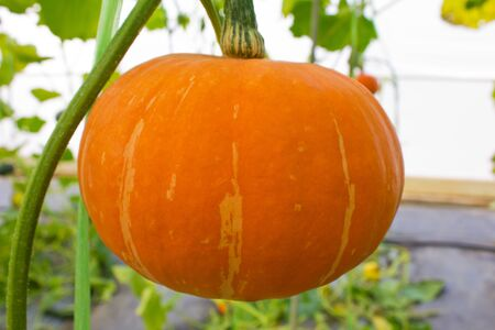 Fresh orange pumpkin in the greenhouse. photo