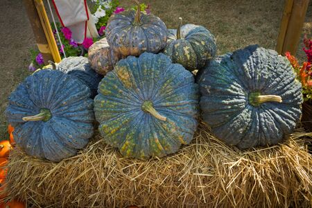 pit fall: Green pumpkins on the hay.