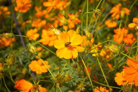 sulfur: Orange Cosmos flowers, Sulfur Cosmos Stock Photo