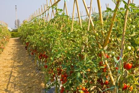 Rijpe rode tomaten op de wijnstok. Stockfoto