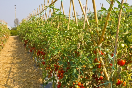 hay field: Ripe red tomatoes on the vine.
