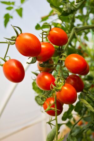 Ripe cherry tomatoes ready for picking. photo