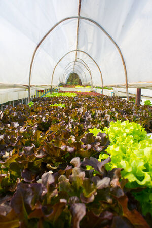 Organic hydroponic vegetable in greenhouse. photo