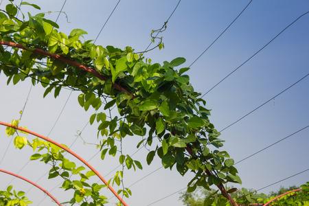 Vine covered pergola in garden