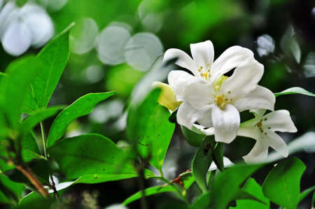 Murraya paniculata  Stock Photo - 13310845