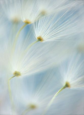 original soft macro of dandelion Stock Photo