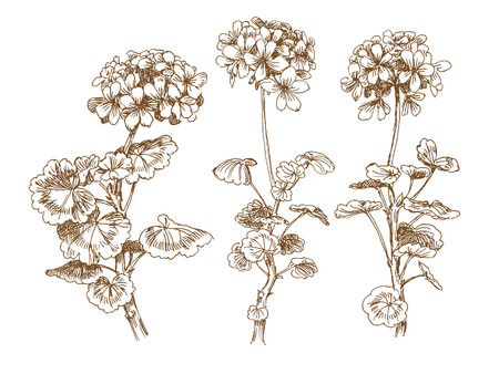 inflorescência: old-styled vector geranium. Trace of freehand drawing