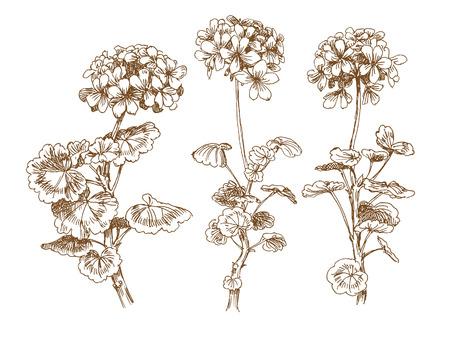 oude-stijl vector geranium. Spoor van Vrije-stijltekenen