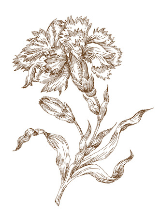 claveles: Rosa de vector de estilo antiguo. Seguimiento de dibujo a mano alzada
