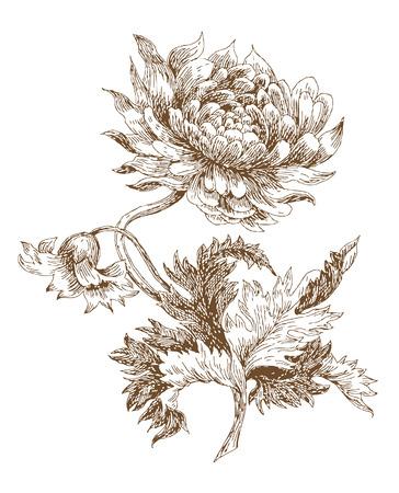 dalia: dahlia de vector de estilo antiguo. Seguimiento de dibujo a mano alzada