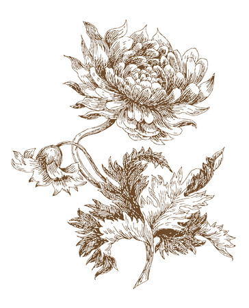 old-styled vector dahlia. Trace of freehand drawing
