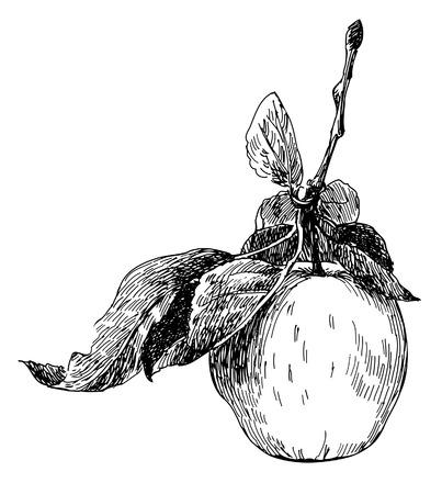 manzana de estilo antiguo. Traza de dibujo a mano alzada  Vectores