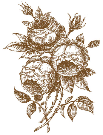 old-styled rose. Trace of freehand drawing