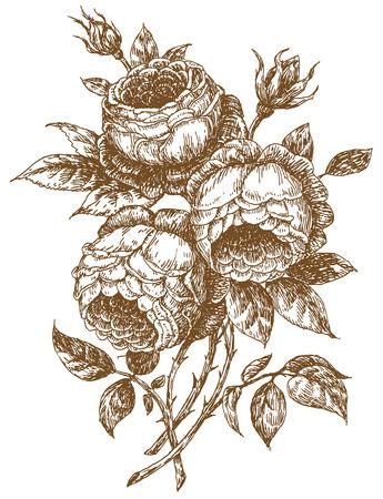 oude-stijl rose. Spoor van Vrije-stijltekenen