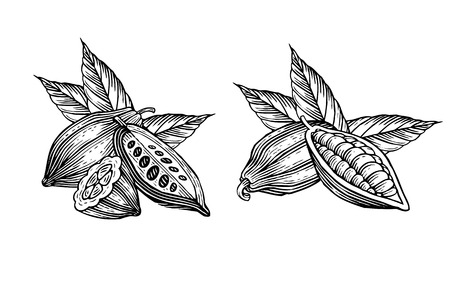 cocoa fruit: engraved illustration of leaves and fruits of cocoa beans