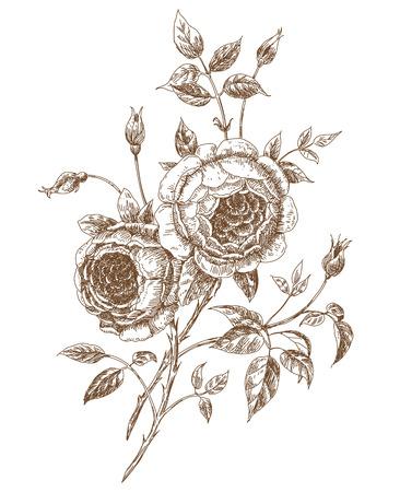 english rose: Hand-drawn english roses. Vector illustration.