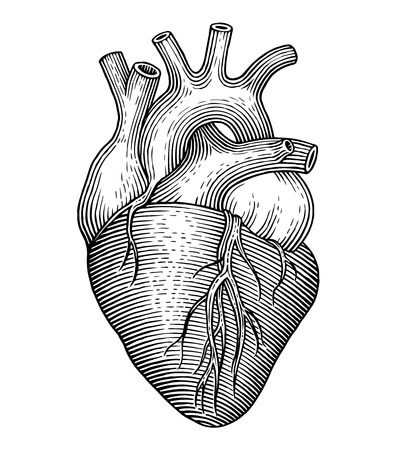 human internal organ: Engraving vector heart isolated on a white backgrounds.