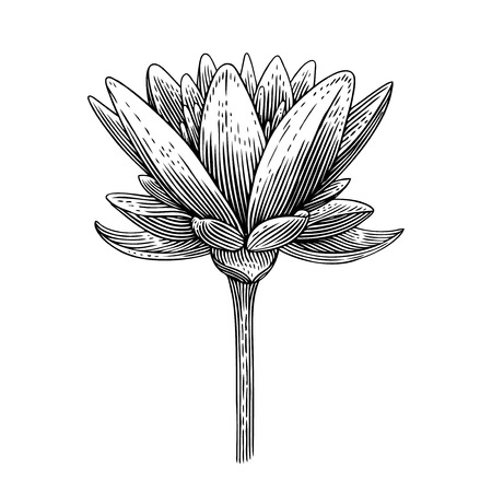 Engraved vector illustration of lotus