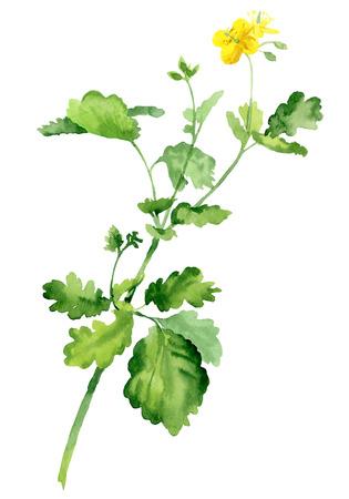 water color: Watercolor bush of celandine. Vector illustration