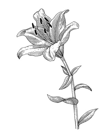 lily flower: Sprig of blooming lily, black and white graphics