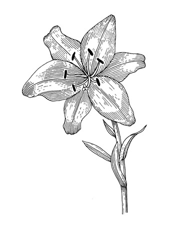sprig: Sprig of blooming lily, black and white graphics