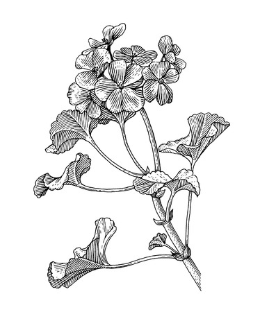 sprig: Sprig of blooming geranium, black and white graphics