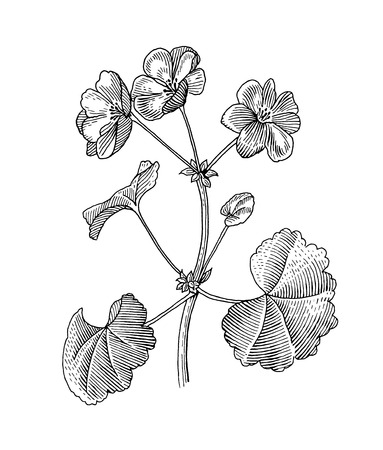 etched: Sprig of blooming geranium, black and white graphics