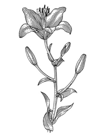 a sprig: Sprig of blooming lily, black and white graphics