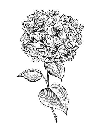 Twijg van bloeiende hortensia, zwart en wit graphics