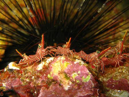 shrimp, south similan Thailand Stock Photo - 9826793
