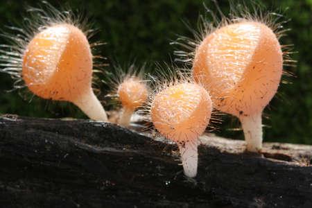 Cookeina Trachoma Mushroom, Khao Yai national park Thailand. Stock Photo - 9958031