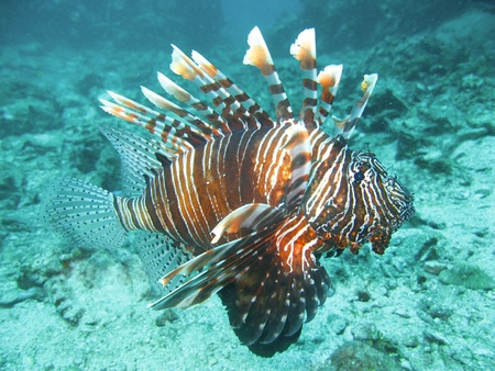 lion fish: Lion fish in south simailan thailand Stock Photo