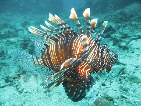 aqualung: Pesce leone nel sud simailan thailand